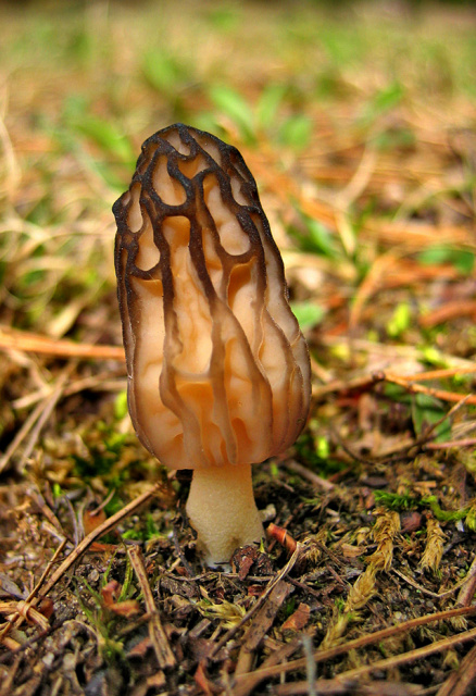 Early Morning Morel